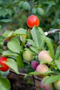40 fruit